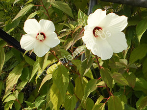 Water Hibiscus (Hibiscus moscheutos) - Hardy Pond Plants