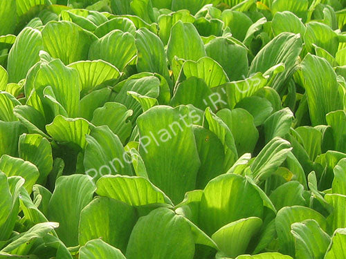Water Lettuce - Floating Pond Plants