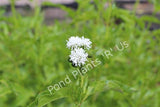 Water Snowball (Gymnocoronis spilanthoides) - flowering