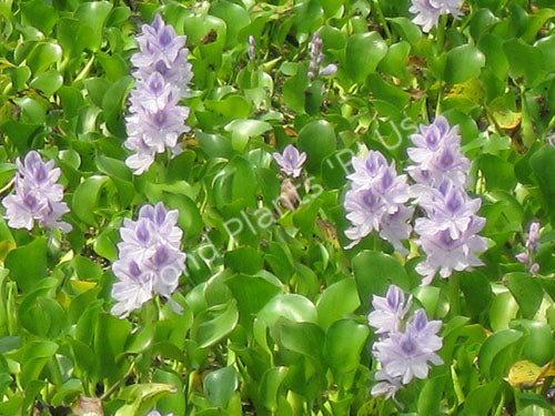 Water Hyacinth - Floating Pond Plants