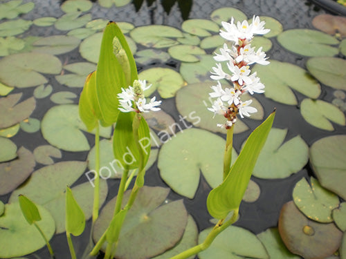 White Pickerel Rush (Pontederia cordata alba)