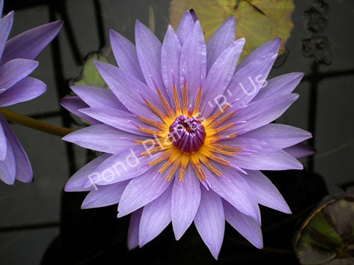 Nymphaea 'William McLane' - Purple Tropical Water Lilies
