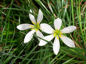 ZEPHYR LILY (Zephyranthes candida) - Tropical Pond Plants