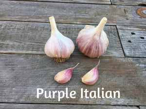 Purple Italian Garlic