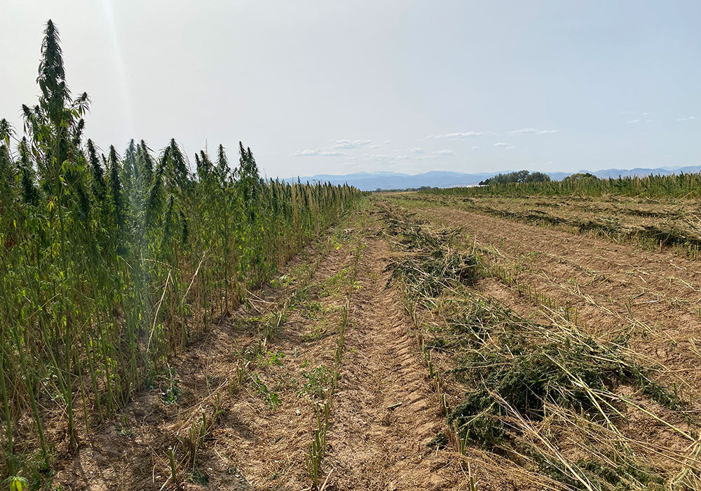 New West Genetics' Abound Hemp Seed Harvest in Fort Collins, Colorado