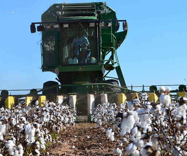 cotton_harvesting_1