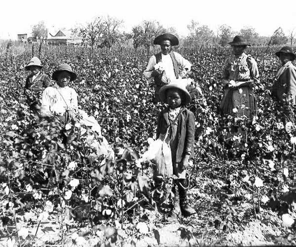 Black and white photo of 2 young and 5 adult cotton field hands in a cotton field