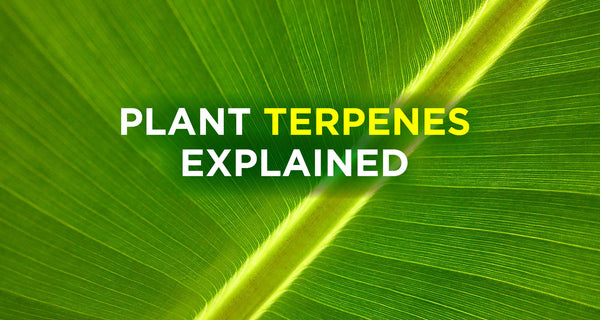Terpenes: Why You Want Them In Your Hemp CBD Oil