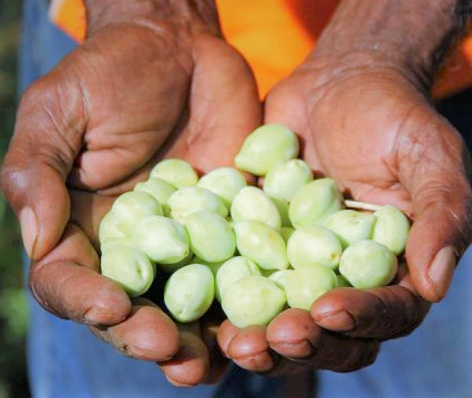 Gubinge (Kakadu Plum) – a Remote and Wild Harvest