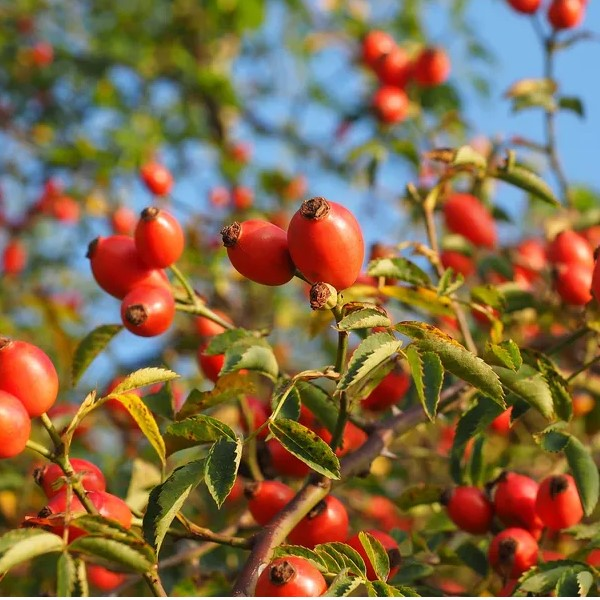 6 Organic Rosehip Oil Benefits in Your Face Cream