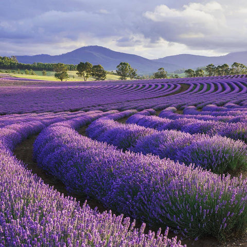 15 Ways Lavender Will Change Your Life