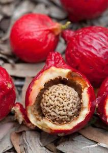 Quandong the natural skincare alternative to Alpha Hydroxy Acid