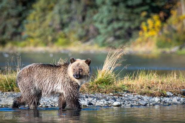 Ombre grizzly photograph by Carrie Servos