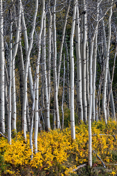 Autumn Aspens Photograph