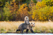 Safe Behind Mom grizzly bear photograph by Carrie Servos