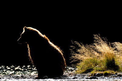 Grizzly Silhouette photograph by Carrie Servos