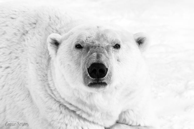 Icy Stare B&W polar bear photograph by Carrie Servos