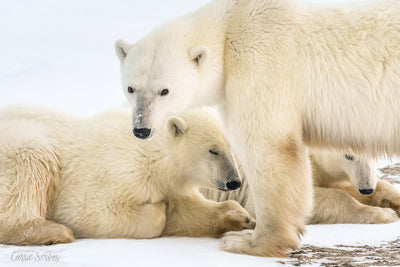 A Watchful Eye polar bear photograph by Carrie Servos