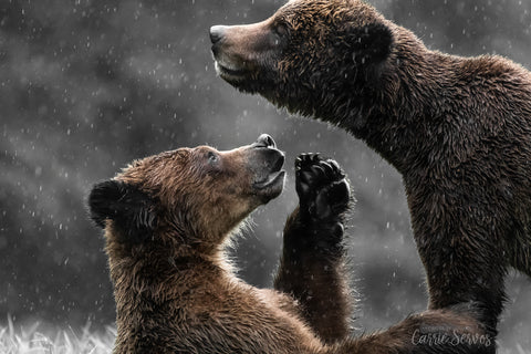 Adoration grizzly bear photograph by Carrie Servos