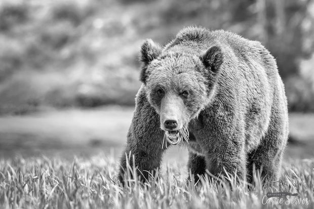 Grizzled grizzly bear photograph by Carrie Servos