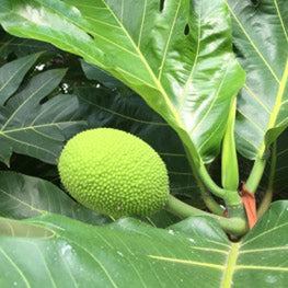 [Past] Breadfruit Variety and Identification Workshop