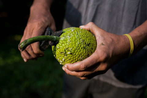 Freshly harvested ʻulu