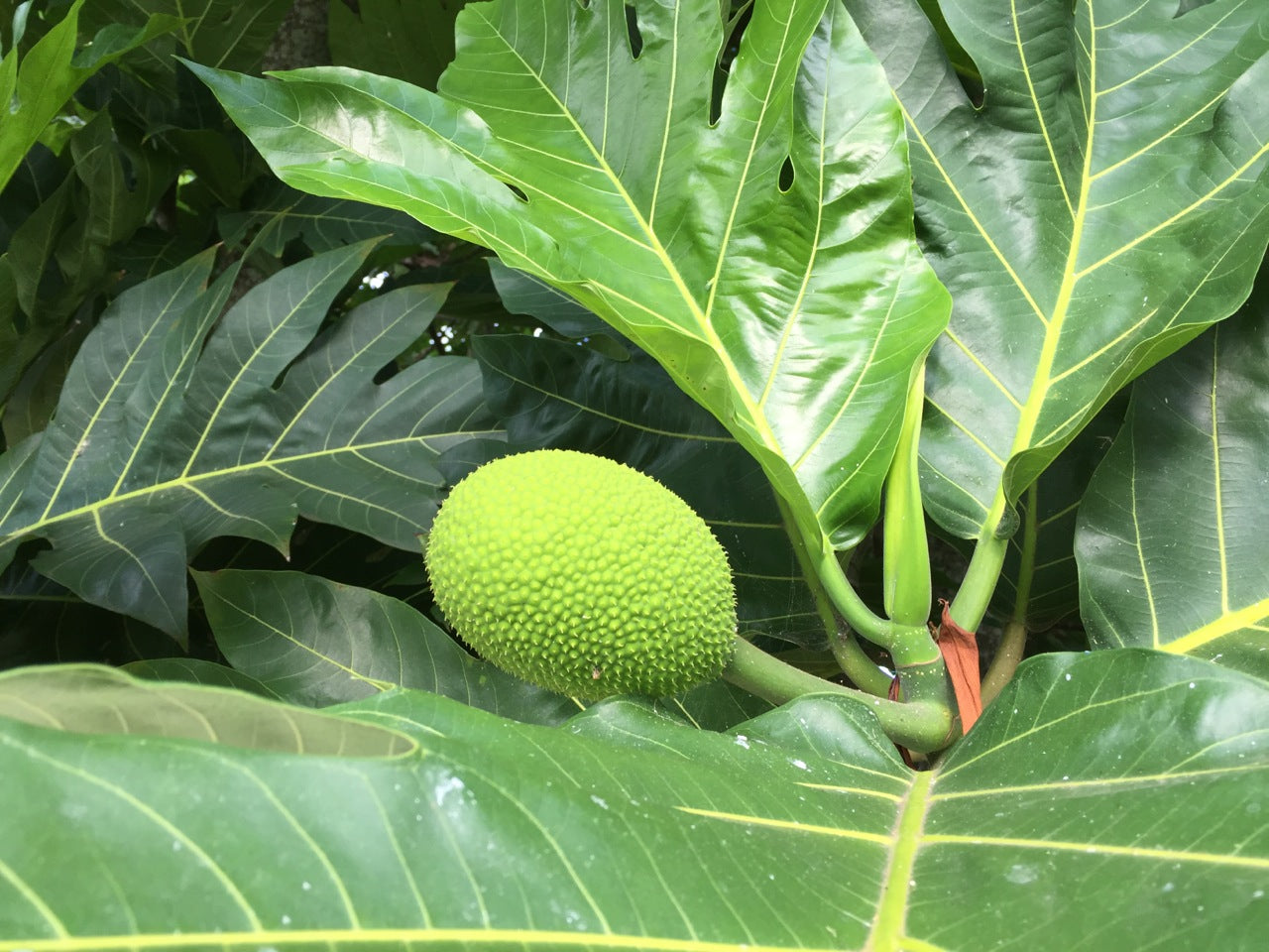 Properly prepared, breadfruit can be a tasty addition to many recipes