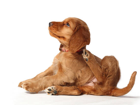 5 Home Remedies for Fleas on Dogs