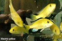 Electric Yellow 4cm