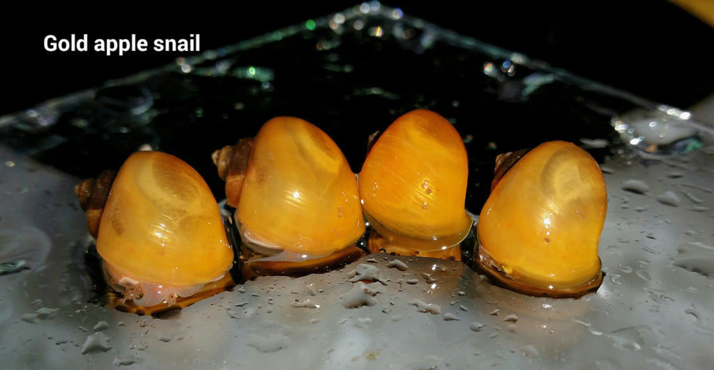 Gold Mystery Snails Large