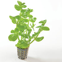 Bacopa potted 5cm