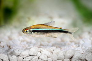 Black Neon Tetra Live Aquarium Fish