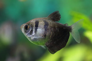 Black widow Tetra aquarium fish