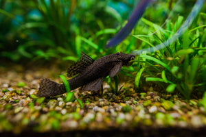 Common bristlenose catfish live aquarium fish