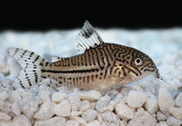 Julii Leopard  corydora catfish live aquarium fish