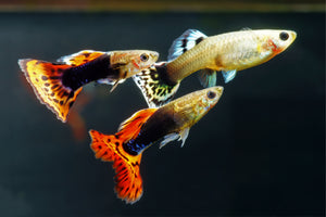 Mixed Guppies