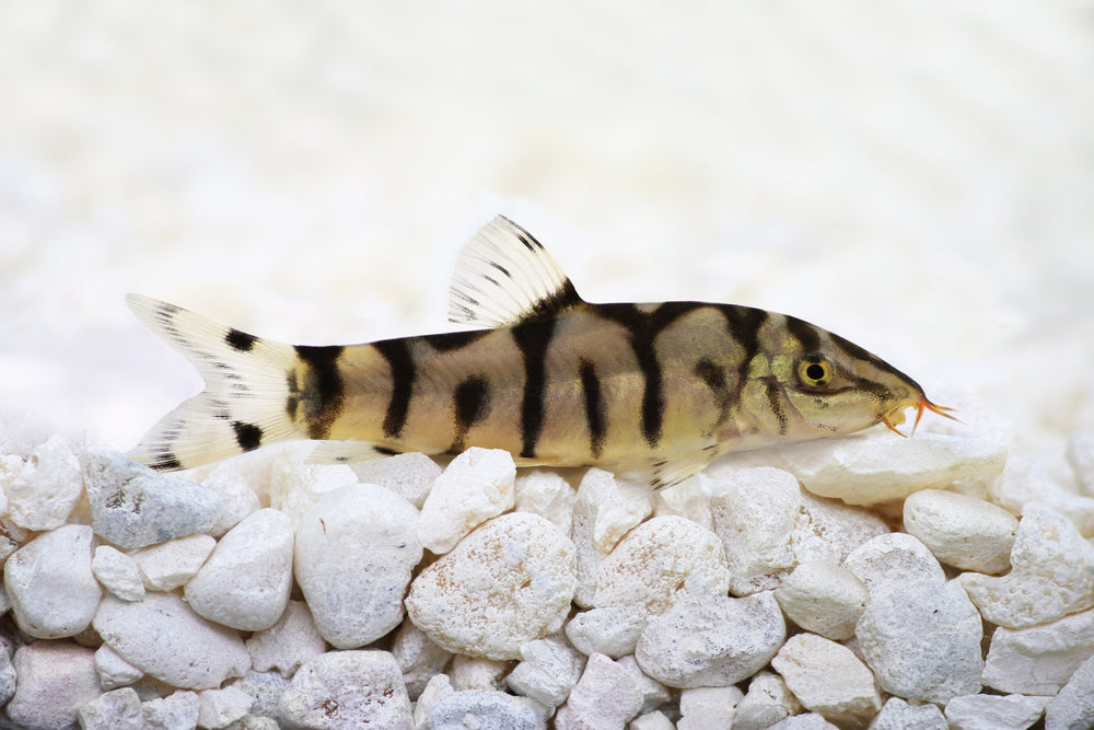 Pakistani Loach Live Aquarium fish