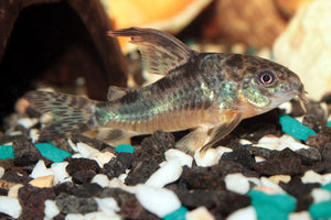 Peppered corydora catfish live aquarium fish