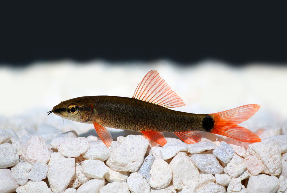 Rainbow Shark freshwater aquarium fish