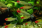 Rummy Nose Tetra aquarium fish