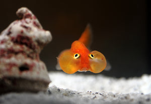 Bubble eye goldfish live aquarium fish