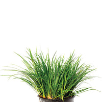 Dwarf Rush Clump -Green (non true aquatic)