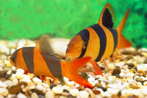Clown Loach aquarium fish