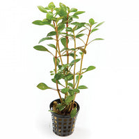 Narrow ludwigia -5cm pot