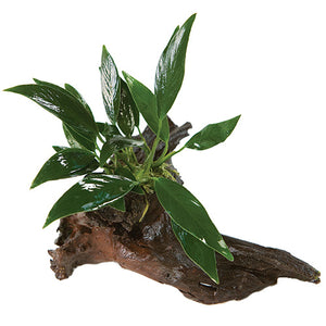 Mini Drift Wood With Anubias