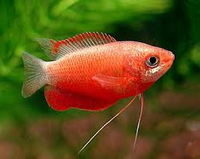 Red Honey Gourami 4CM