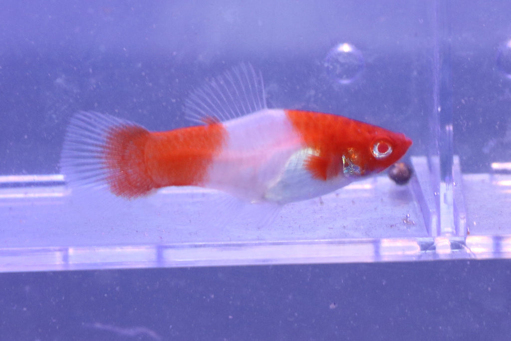Santa Claus Swordtail Live Aquarium fish