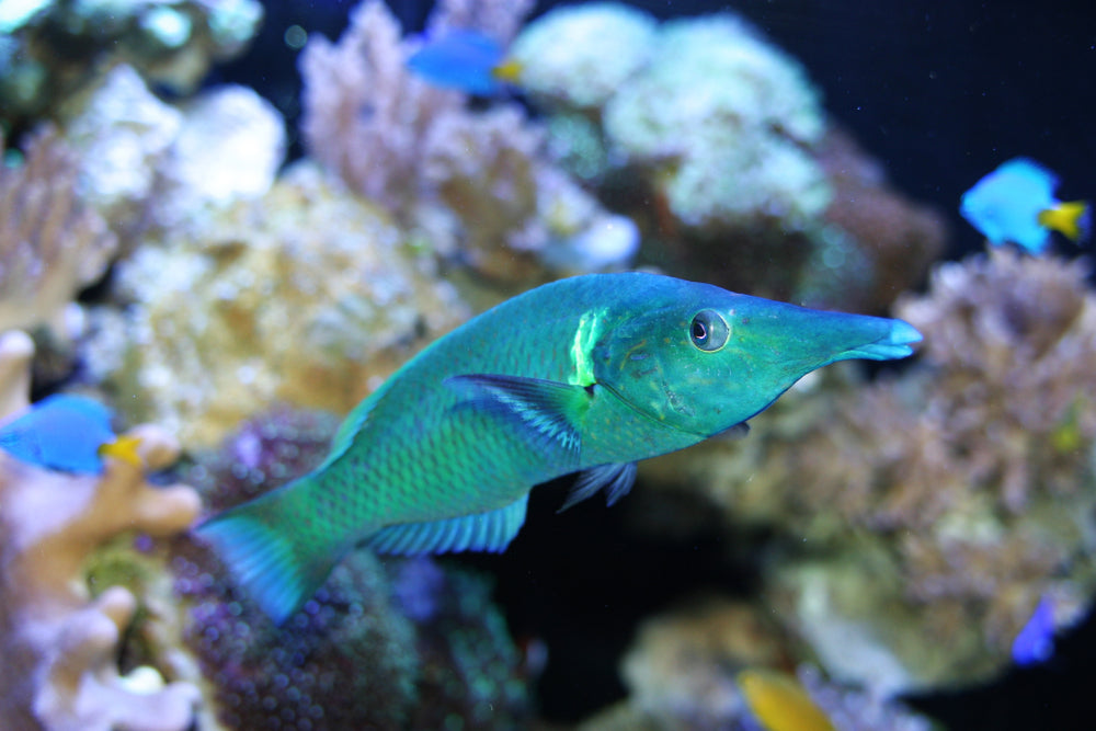 Male Bird Nose Wrasse
