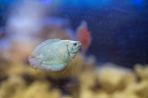 Dwarf neon blue gourami live aquarium fish