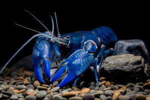 Electric blue yabbie 5-7cm